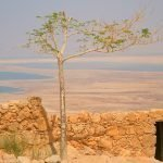 Uncompromising Faith Deep Roots Masada Acacia Tree