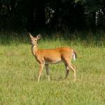 The Broken Fence Deer