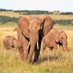 Uncompromising Faith Sacrificial Love Elephant